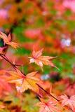 σφένδαμνος φύλλων φθινοπώρου Στοκ Φωτογραφίες