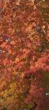 σφένδαμνος φύλλων φθινοπώ&rh Στοκ εικόνες με δικαίωμα ελεύθερης χρήσης