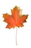σφένδαμνος φύλλων φθινοπώ&rh Στοκ φωτογραφία με δικαίωμα ελεύθερης χρήσης
