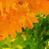 σφένδαμνος φύλλων φθινοπώ&rh Στοκ φωτογραφίες με δικαίωμα ελεύθερης χρήσης