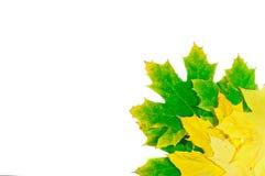 σφένδαμνος φύλλων φθινοπώ&rh Στοκ Φωτογραφίες