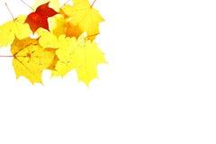Σφένδαμνος απομονωμένος ερμπάριο Οκτώβριος φύλλων φθινοπώρου Στοκ Φωτογραφία