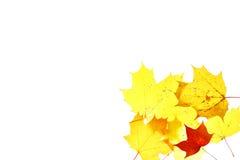 Σφένδαμνος απομονωμένος ερμπάριο Οκτώβριος φύλλων φθινοπώρου Στοκ φωτογραφίες με δικαίωμα ελεύθερης χρήσης
