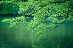 Σφένδαμνος του βοτανικού κήπου του Κιότο κατά τη διάρκεια της άνοιξης στο Κιότο, Ιαπωνία Στοκ Εικόνα