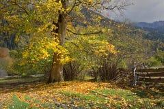 Σφένδαμνος το φθινόπωρο Στοκ Φωτογραφία