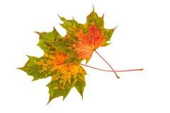 σφένδαμνος φύλλων εστίασης πτώσης ρηχός Ζωηρόχρωμα φύλλα φθινοπώρου που απομονώνονται στο λευκό Στοκ Φωτογραφία