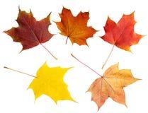 σφένδαμνος φύλλων πτώσης του Καναδά φθινοπώρου Στοκ εικόνες με δικαίωμα ελεύθερης χρήσης