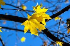 σφένδαμνος φύλλων πτώσης του Καναδά φθινοπώρου Στοκ εικόνα με δικαίωμα ελεύθερης χρήσης