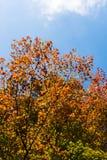 σφένδαμνος φύλλων πτώσης του Καναδά φθινοπώρου Στοκ φωτογραφία με δικαίωμα ελεύθερης χρήσης