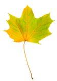 Σφένδαμνος φύλλων φθινοπώρου που απομονώνεται Στοκ Εικόνα