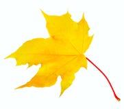 Σφένδαμνος φύλλων φθινοπώρου που απομονώνεται Στοκ Εικόνες