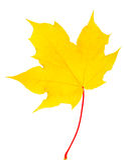 Σφένδαμνος φύλλων φθινοπώρου που απομονώνεται Στοκ φωτογραφία με δικαίωμα ελεύθερης χρήσης