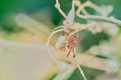 Σφήκα ή σφήκα-μίμος Ceriana στοκ φωτογραφία με δικαίωμα ελεύθερης χρήσης