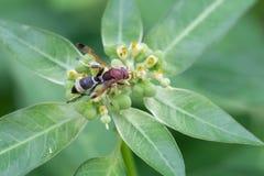 Σφήκα ή σφήκα-μίμος Ceriana στοκ εικόνες