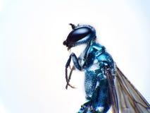 Σφήκα ή σφήκα-μίμος Hoverfly Ceriana που απομονώνεται στο άσπρο υπόβαθρο στοκ εικόνες