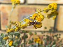 Σφήκα εγγράφου στα κίτρινα λουλούδια στοκ φωτογραφίες