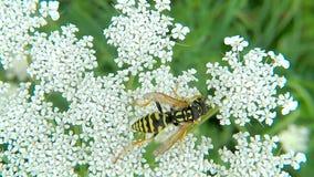 Σφήκα εγγράφου στο άσπρο λουλούδι το καλοκαίρι απόθεμα βίντεο