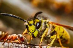 Σφήκα εναντίον του μυρμηγκιού Στοκ εικόνα με δικαίωμα ελεύθερης χρήσης