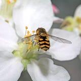σφήκα κίτρινη Στοκ φωτογραφία με δικαίωμα ελεύθερης χρήσης