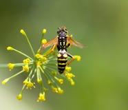 σφήκα λουλουδιών Μακροεντολή Στοκ φωτογραφία με δικαίωμα ελεύθερης χρήσης