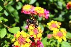 σφήκα λουλουδιών Στοκ Εικόνες