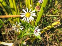 σφήκα λουλουδιών Στοκ εικόνες με δικαίωμα ελεύθερης χρήσης