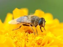 σφήκα λουλουδιών Στοκ φωτογραφία με δικαίωμα ελεύθερης χρήσης