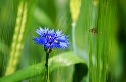 σφήκα λουλουδιών Στοκ Φωτογραφία