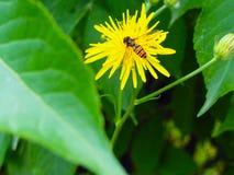 σφήκα λουλουδιών Στοκ Εικόνα