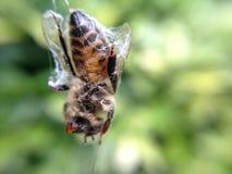 Σφήκα που συσκευάζεται μέσα από την αράχνη Στοκ Εικόνες
