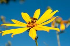 Σφήκα σε ένα λουλούδι Στοκ Εικόνα