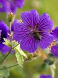 Σφήκα σε ένα λουλούδι Στοκ Εικόνες