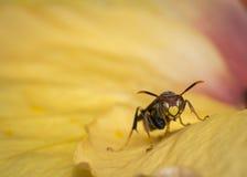 Σφήκα σε μια προσοχή λουλουδιών στη κάμερα Στοκ εικόνα με δικαίωμα ελεύθερης χρήσης