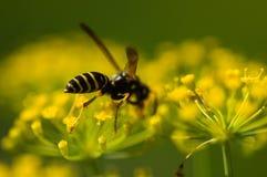 Σφήκα στα κίτρινα λουλούδια Στοκ εικόνα με δικαίωμα ελεύθερης χρήσης