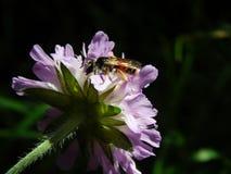 Σφήκα στους κάρδους λιβαδιών λουλουδιών Στοκ εικόνα με δικαίωμα ελεύθερης χρήσης