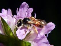 Σφήκα στους κάρδους λιβαδιών λουλουδιών Στοκ φωτογραφία με δικαίωμα ελεύθερης χρήσης