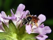Σφήκα στους κάρδους λιβαδιών λουλουδιών Στοκ Εικόνες
