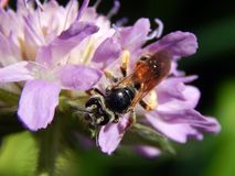 Σφήκα στους κάρδους λιβαδιών λουλουδιών Στοκ Φωτογραφίες