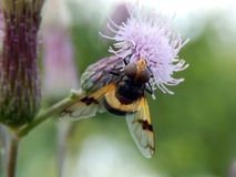 Σφήκα στους κάρδους λιβαδιών λουλουδιών Στοκ Εικόνα