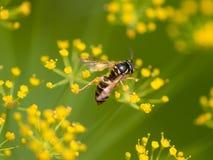 Σφήκα στο κίτρινο floer Στοκ Εικόνες