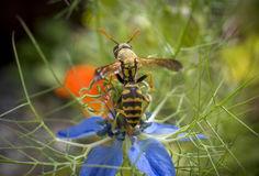 Σφήκα στο λουλούδι ενός damascena Nigella Στοκ Φωτογραφίες
