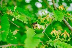 Σφήκα στο tamarind δέντρο λουλουδιών Στοκ Εικόνα