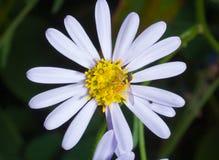 σφήκα 7 λουλουδιών Στοκ Εικόνα