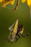 Σφήκα, bruennichi Argiope Στοκ Φωτογραφίες