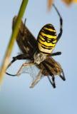 Σφήκα, bruennichi Argiope Στοκ Εικόνα