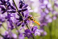 Σφήκα (cinctella Meliscaeva) lavender Στοκ φωτογραφίες με δικαίωμα ελεύθερης χρήσης