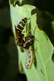 σφήκα vespidae Στοκ φωτογραφία με δικαίωμα ελεύθερης χρήσης