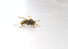 σφήκα yellowjacket Στοκ φωτογραφία με δικαίωμα ελεύθερης χρήσης