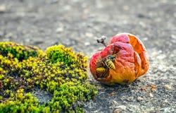 Σφήκες που τρώνε από ένα σάπιο μήλο Στοκ Εικόνες