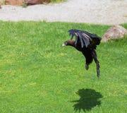 Σφήνα-παρακολουθημένος αετός που προετοιμάζεται να επιτεθεί Στοκ Φωτογραφία